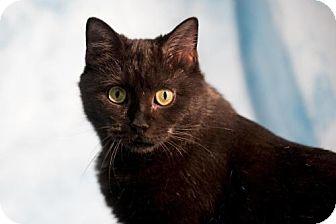 Domestic Shorthair Cat for adoption in Herndon, Virginia - Shiloh