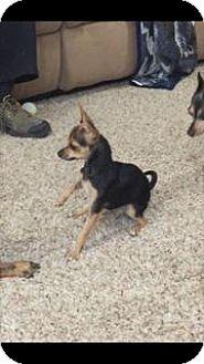 Chihuahua Mix Dog for adoption in Phoenix, Arizona - MOCHA