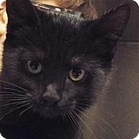 Domestic Shorthair Kitten for adoption in Grants Pass, Oregon - Zeke