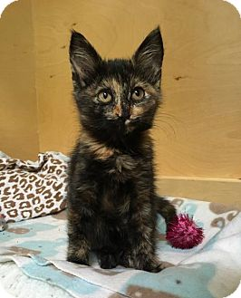Domestic Shorthair Kitten for adoption in Los Angeles, California - Lady Anne