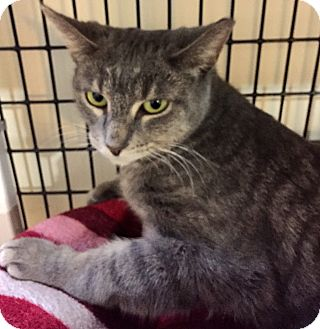 Domestic Shorthair Cat for adoption in Chicago, Illinois - Maggie Green