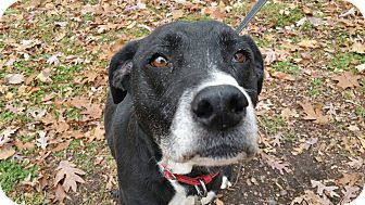 Boxer/Great Dane Mix Dog for adoption in Marion, Indiana - VANILLA BEAN