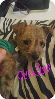Chihuahua Mix Puppy for adoption in Overland Park, Kansas - Ashlee