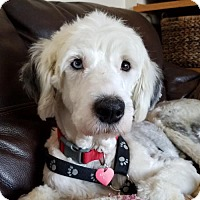 Old English Sheepdog Dog for adoption in St. Louis Park, Minnesota - Parka