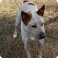 Australian Cattle Dog Mix Dog for adoption in Halifax, North Carolina - Bigby