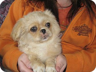 Pekingese Puppy for adoption in Greenville, Rhode Island - Fred Weasley