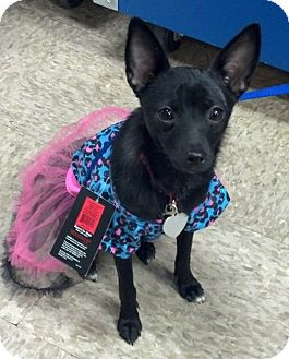 Schipperke/Chihuahua Mix Puppy for adption in Lancaster, Ohio - Millie