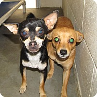 Adopt A Pet :: CHIHUAHUA GIRLS YOUNG - Pompton Lakes, NJ
