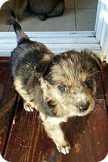 Australian Cattle Dog/Australian Shepherd Mix Puppy for adoption in Winnetka, California - SARAH AND CHERI