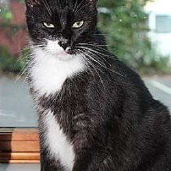 Photo 1 - Domestic Shorthair Cat for adoption in Secaucus, New Jersey - Panchito