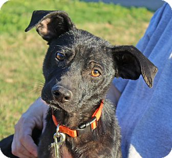 Dachshund Mix Puppy for adoption in kennebunkport, Maine - Levi - Foster Needed