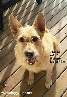 Irish Wolfhound/German Shepherd Dog Mix Dog for adoption in Warkworth, Ontario - Angel