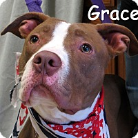 Pit Bull Terrier/Labrador Retriever Mix Dog for adoption in Warren, Pennsylvania - Grace