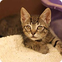 Adopt A Pet :: Virginia Woolf - Mebane, NC