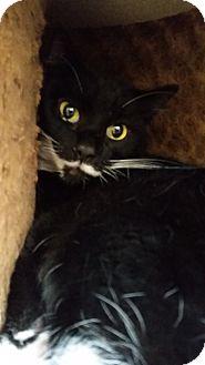 Domestic Shorthair Cat for adoption in Chula Vista, California - Oreo