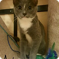 Adopt A Pet :: Ash - Gainesville, VA