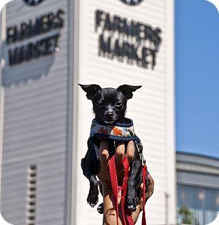 Chihuahua Mix Dog for adoption in Santa Ana, California - Traveler (Shadow MK)