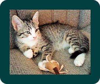 Domestic Shorthair Kitten for adoption in Euless, Texas - Kitten - DQ