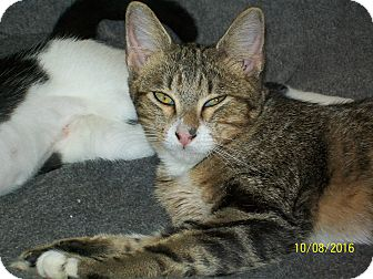 Domestic Shorthair Cat for adoption in Mexia, Texas - Fred