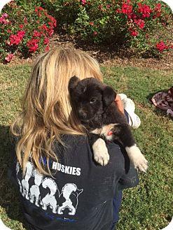 Siberian Husky/Labrador Retriever Mix Puppy for adoption in Roswell, Georgia - Aston