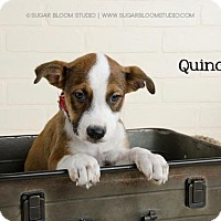 Beagle Mix Puppy for adoption in Denver, Colorado - Quincy