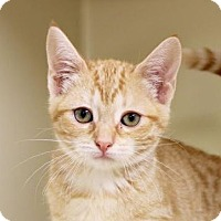 Domestic Shorthair Kitten for adoption in Red Bluff, California - Shannon