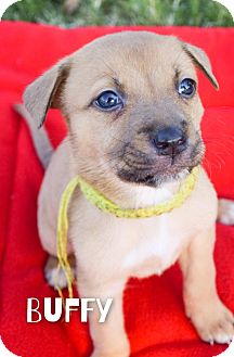 Australian Cattle Dog Mix Puppy for adoption in DFW, Texas - Buffy