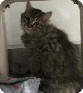 Domestic Longhair Kitten for adoption in Richmond, Indiana - Harvard