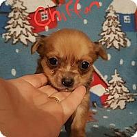 Adopt A Pet :: Chiffon - Burlington, VT