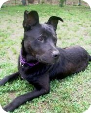 Labrador Retriever/Shepherd (Unknown Type) Mix Dog for adoption in Acushnet, Massachusetts - Jax