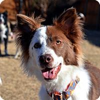 Adopt A Pet :: Bravo - Garland, TX