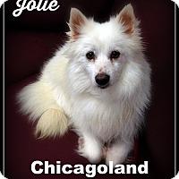 Adopt A Pet :: Jolie - Elmhurst, IL