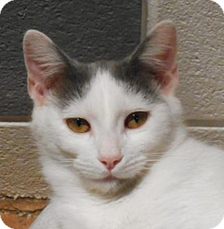 Domestic Shorthair Cat for adoption in Charlotte, North Carolina - Bryson