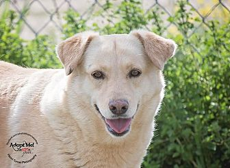 Golden Retriever/Cattle Dog Mix Dog for adoption in Iola, Texas - Sunshine