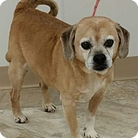Pug/Beagle Mix Dog for adoption in Urbana, Ohio - Ben