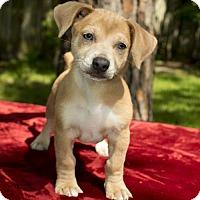 Adopt A Pet :: Elroy - Alvin, TX