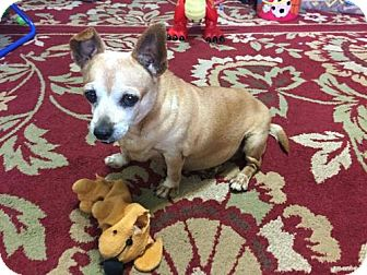 Dachshund/Chihuahua Mix Dog for adoption in Weston, Florida - Canoodle
