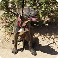 Adopt A Pet :: Cute LITTLE Caden ~ American Bully - Albuquerque, NM