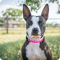 Basenji/Bull Terrier Mix Dog for adoption in Cheyenne, Wyoming - Pawdrey Hepburn