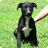 Adopt A Pet :: Sawyer Girl~ meet me! - Glastonbury, CT