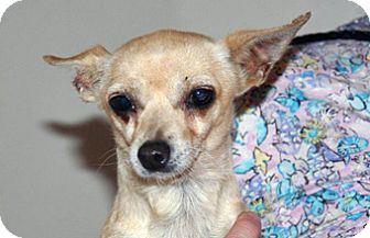 Chihuahua Mix Dog for adoption in Wildomar, California - Scully