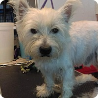 Westie, West Highland White Terrier Dog for adoption in Frisco, Texas - ACE-ADOPTION PENDING
