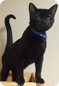 Domestic Shorthair Kitten for adoption in Decatur, Alabama - Batman