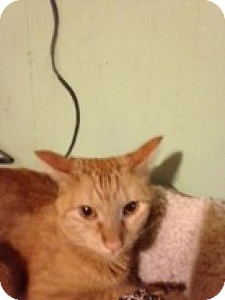 Domestic Shorthair Cat for adoption in Bridgeton, Missouri - Tator Tot