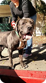 Mastiff Mix Dog for adoption in Beverly Hills, California - Cash