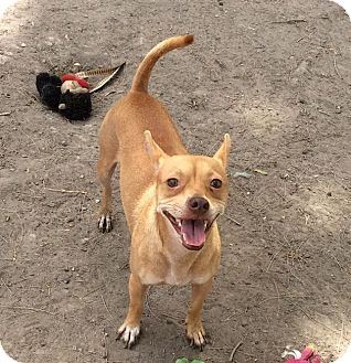 Terrier (Unknown Type, Small) Mix Dog for adoption in Brownsville, Texas - Elton
