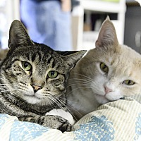 Domestic Shorthair Cat for adoption in Whitehall, Pennsylvania - Simba & Tabatha