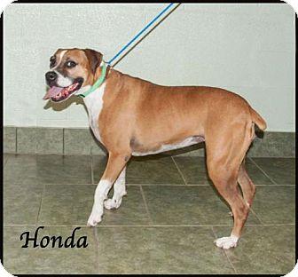 Boxer Mix Dog for adoption in Ada, Oklahoma - Honda *AT BASIC TRAINING*