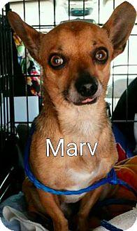 Chihuahua Mix Dog for adoption in Encinitas (San Diego), California - Marv