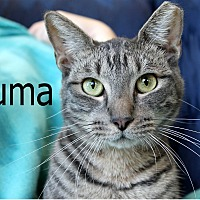 Adopt A Pet :: Puma - Wichita Falls, TX